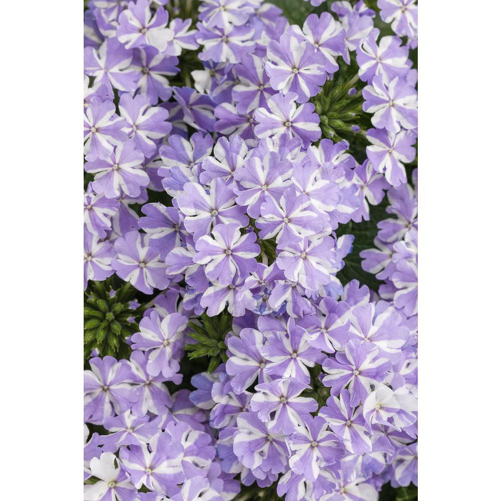 Proven winners superbena stormburst verbena live plant light proven winners superbena stormburst verbena live plant light purple and white striped flowers 425 mightylinksfo