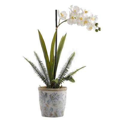 Indoor Cream Vanda Orchid in Blue and White Ceramic