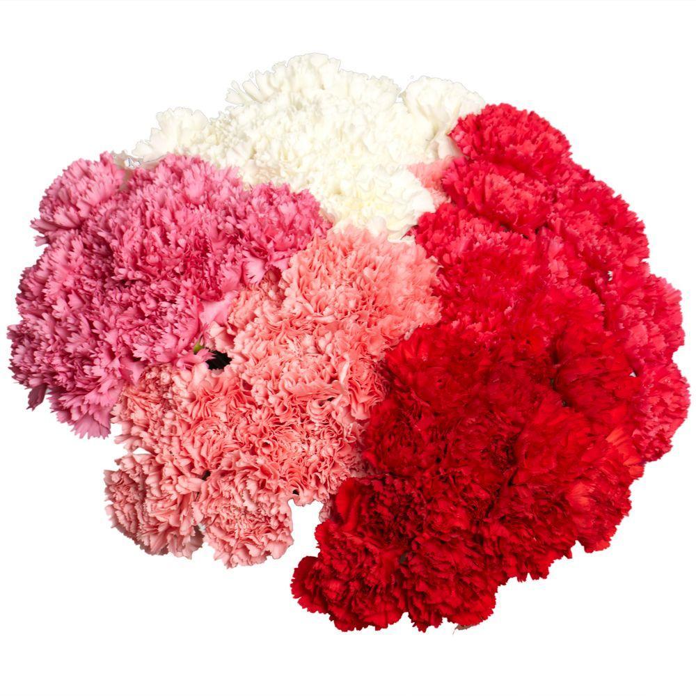 Globalrose Fresh Christmas Carnations (200 Stems)