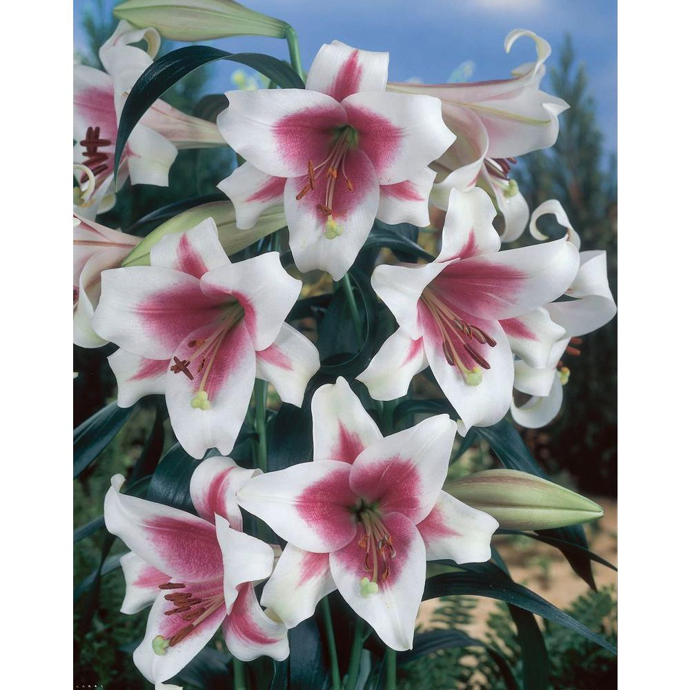 Bloomsz Asiatic Lollypop Lily Bulbs Super Saver (12-Pack)