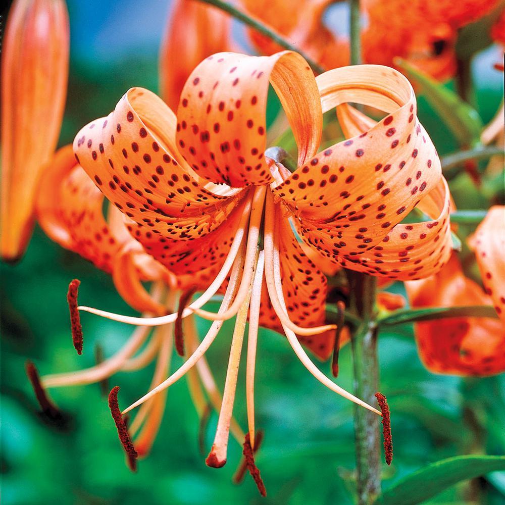 Tiger Lily Tigrinum Splendens Bulbs (5-Pack)