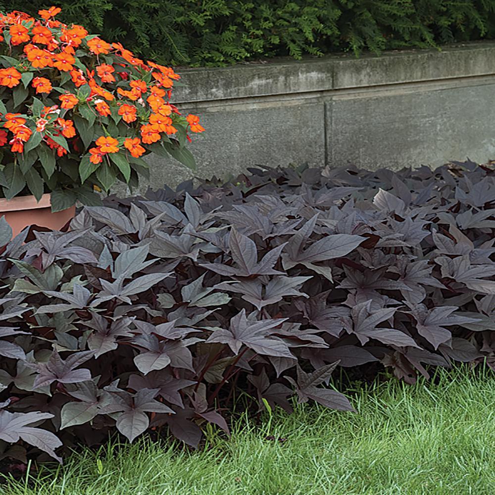 1 Qt. Black Sweet Potato Vine Ipomoea Annual Plant
