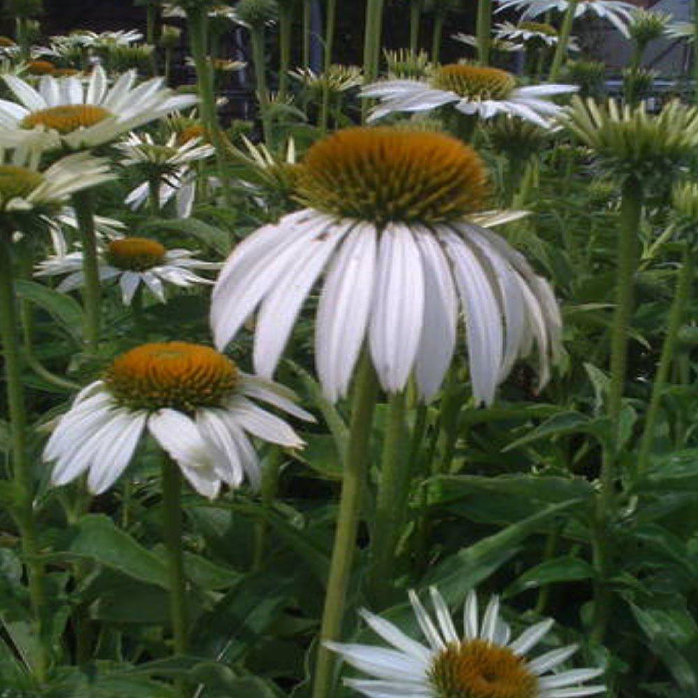 OnlinePlantCenter 1 gal. White Swan Coneflower Plant