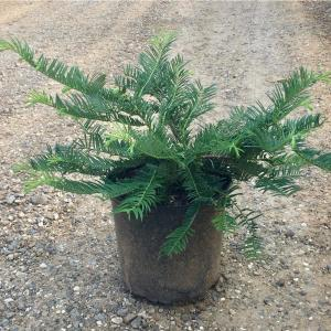 9.25 in. Pot - Plum Yew Spreading, Live Evergreen Shrub, Dark Green Needled Foliage