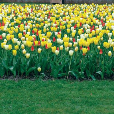 Early Bloomer Fosteriana Tulip Bulb Mixture (100-Pack)