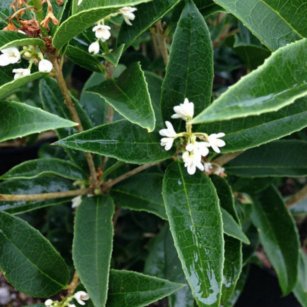 2 5 Qt Sweet Tea Olive Osmanthus Live Evergreen Shrub