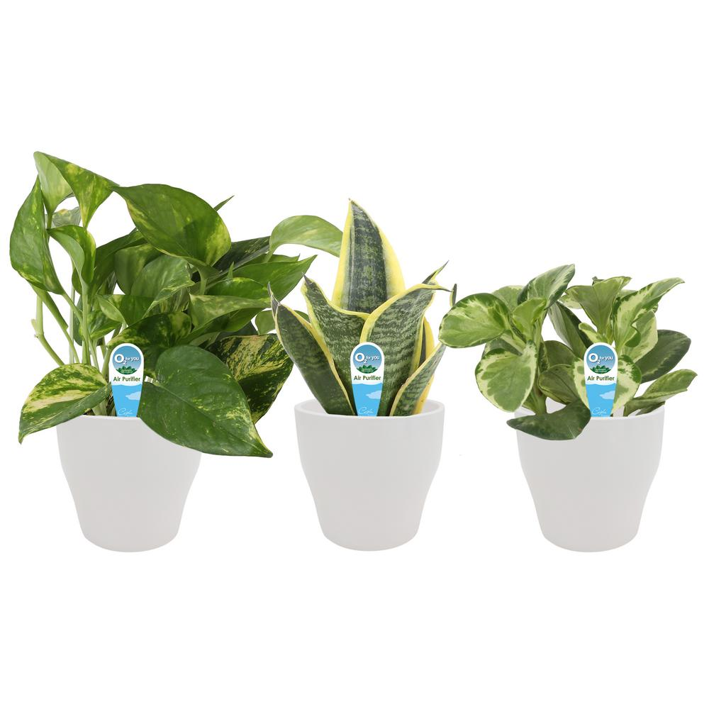 Costa Farms O2 for You House Plant Collection in 4 in. Decor Pot (3-Pack)