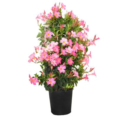 28 in. to 34 in. Tall Mandevilla Trellis Pretty Pink Live Outdoor Vining Plant in 9.25 in. Grower