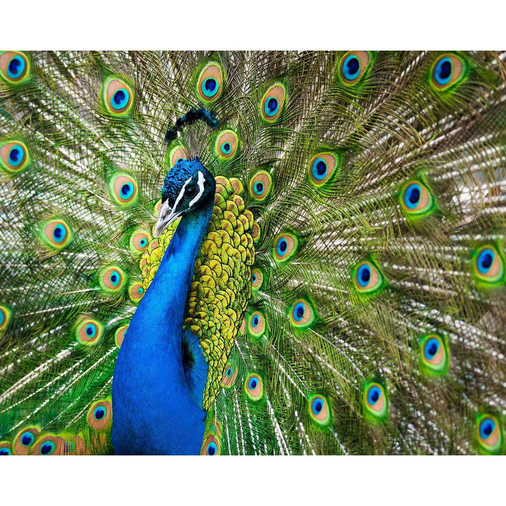 Peacock Wall Mural WR50560 The Home Depot