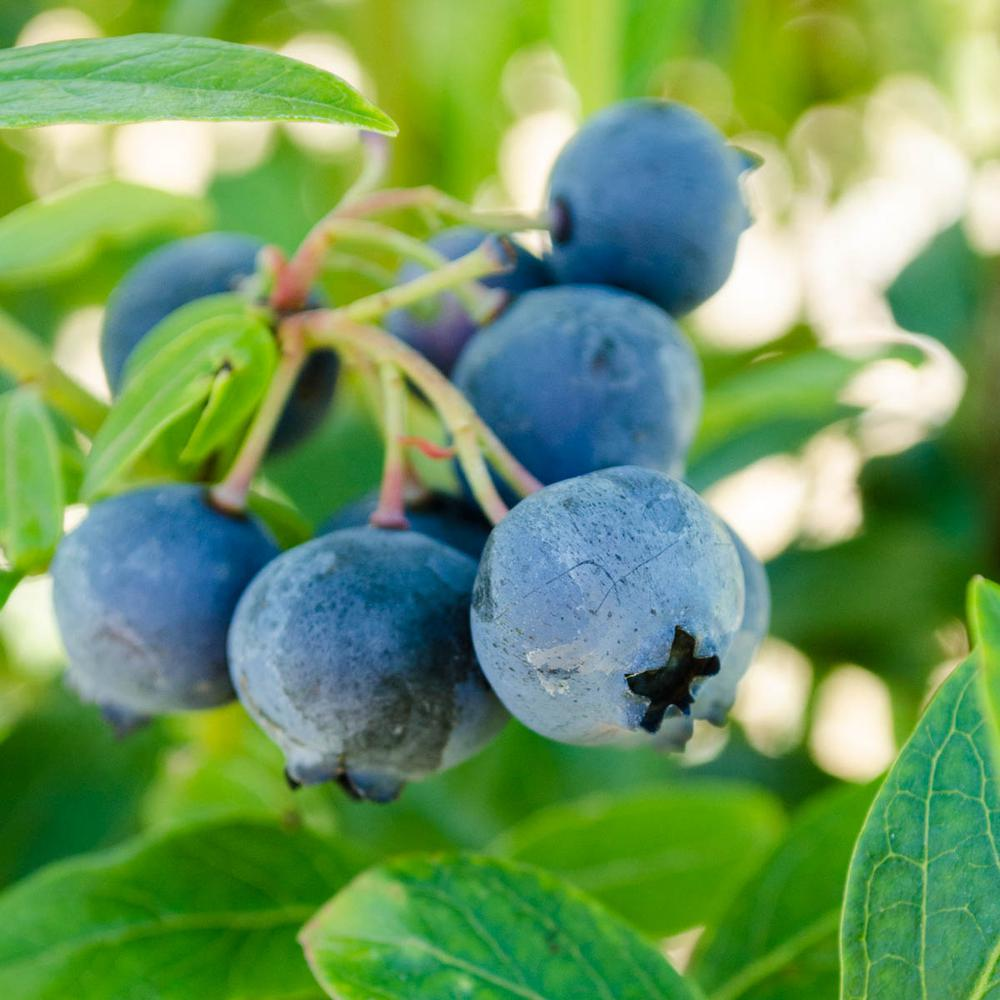 Gurneys 1 Gal Northcountry Blueberry Vaccinium Live Fruiting