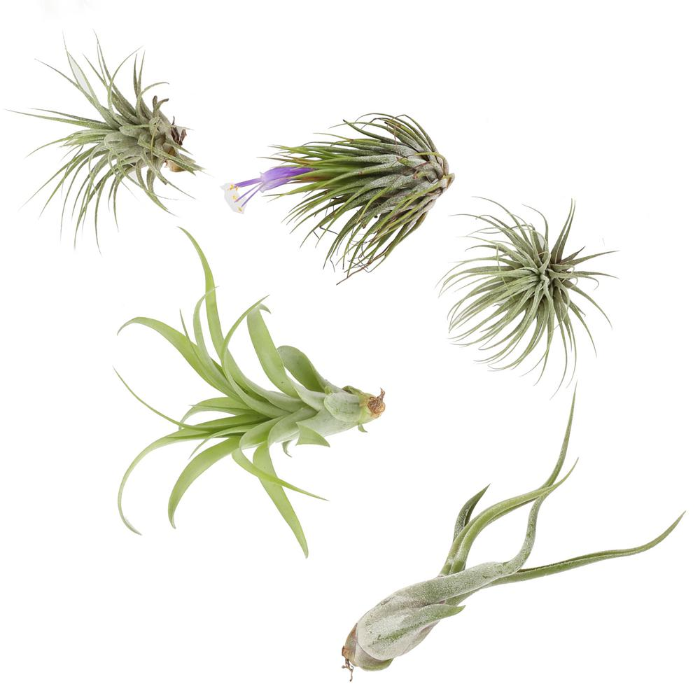 Orted Air Plants 5 Pack