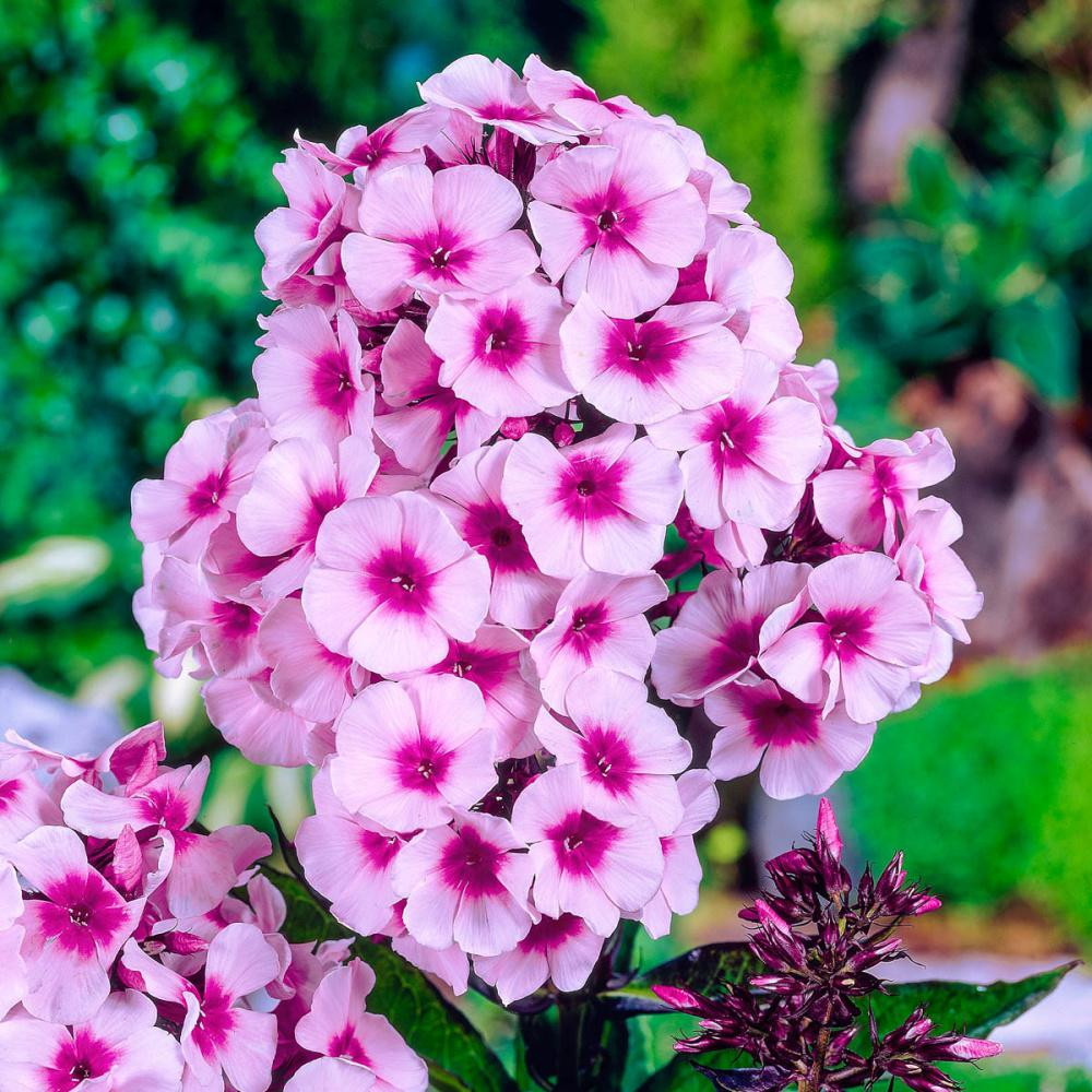 Spring Hill Nurseries Bright Eyes Tall Garden Phlox Live Bareroot