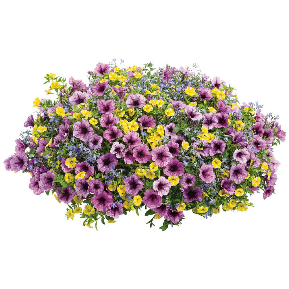 10 in. Bahama Beach Combination Hanging Basket, Live Plants, Yellow, Blue,