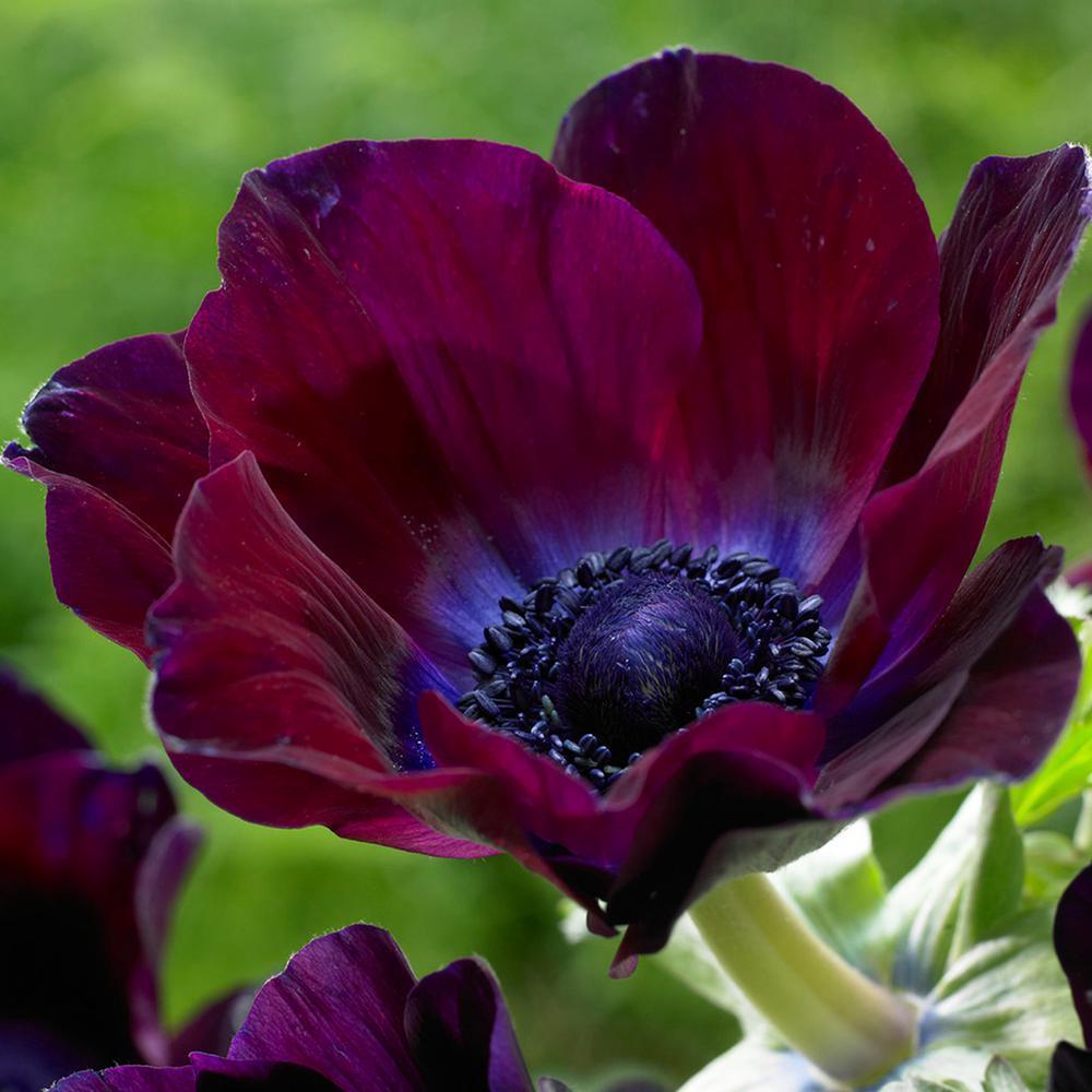 Wind Flowers Bulbs Anemones Meron Bordeaux (Set of 25)