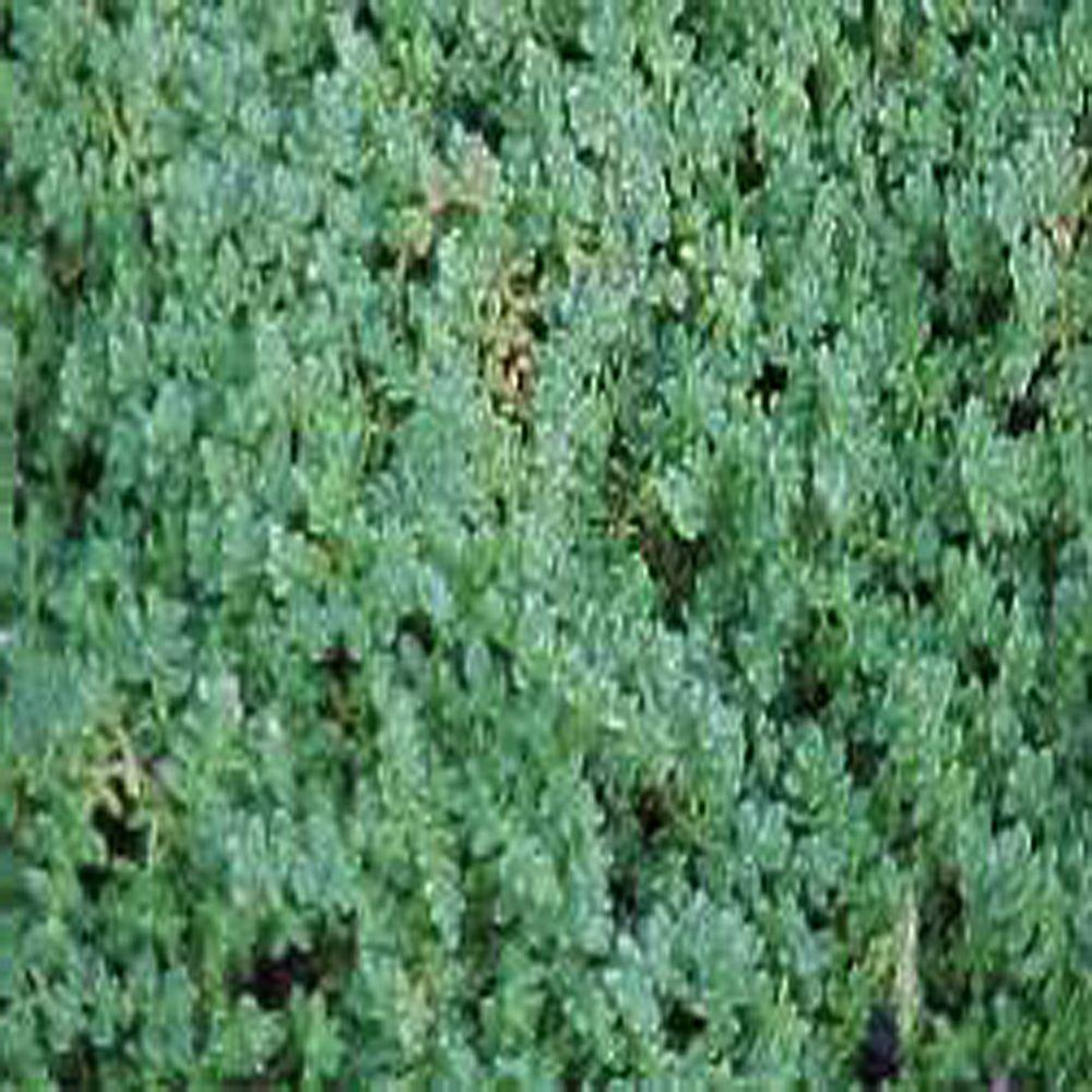 null 3.5 in. Green Carpet Rupturewort Plant