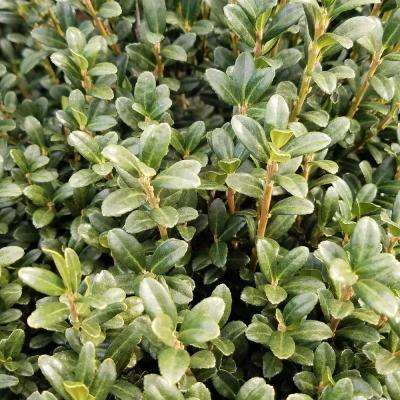 9.25 in. Pot - Sky Pencil Japanese Holly(Ilex), Live Plant, Upright Growth Habit