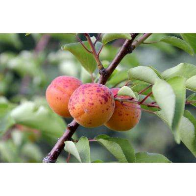 Dwarf Moorpark Apricot Tree - Largest and Sweetest Apricots (Bare-Root, 3 ft. to 4 ft. Tall, 2-Years Old)