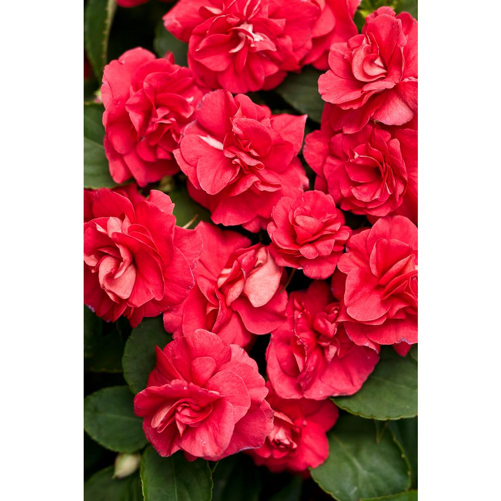 Proven Winners Rockapulco Red (Double Impatiens) Live Plant, Red Flowers, 4.25 in. Grande, 4-pack
