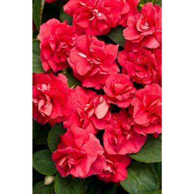 Rockapulco Red (Double Impatiens) Live Plant, Red Flowers, 4.25 in. Grande, 4-pack