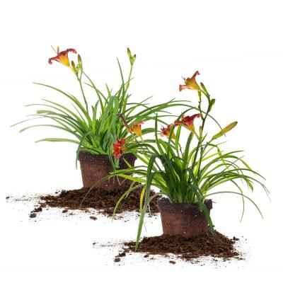 1 Gal. Little Business Daylily Flowering Shrub (2-Pack)