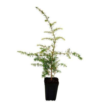 Canadian Hemlock Potted Evergreen Tree