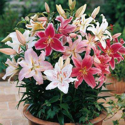 Oriental Lily Border Mixed Bulbs (10-Pack)