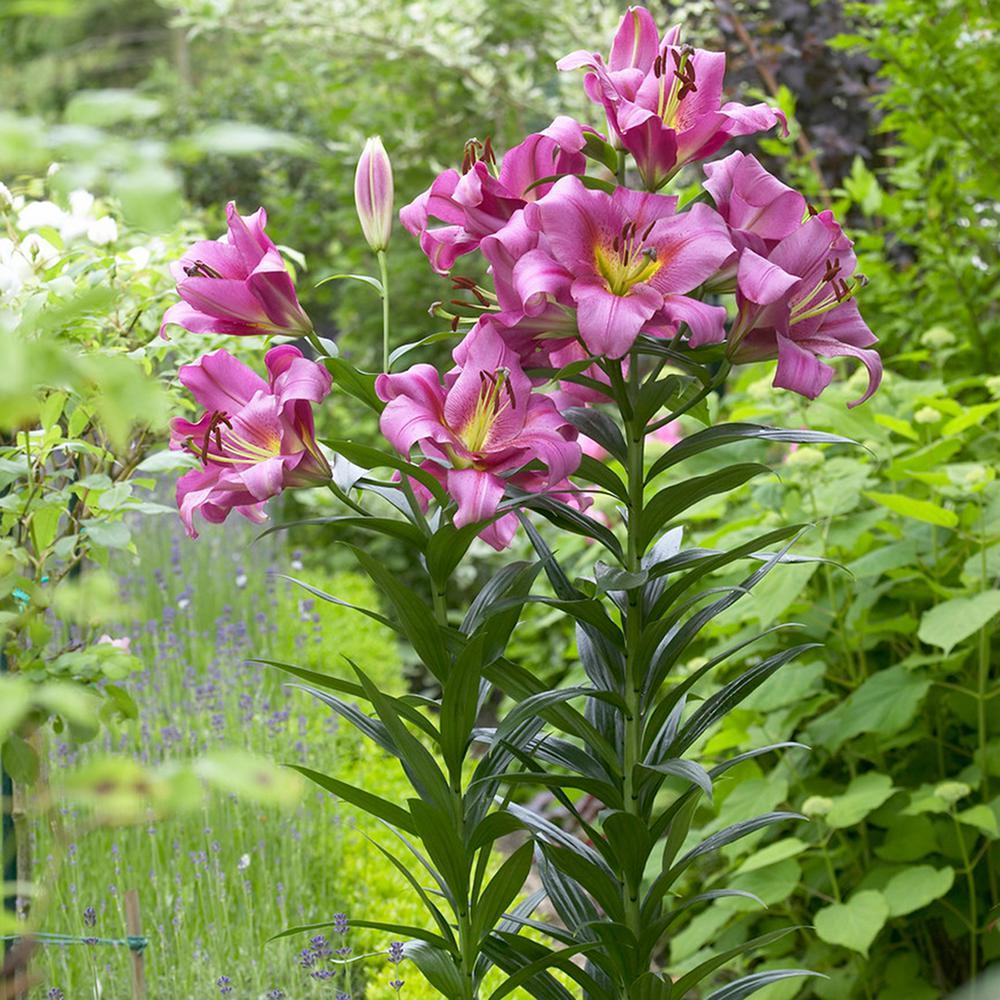Lilies  Mammouth Tall Lilies Purple Ladies Bulbs (7-Set)
