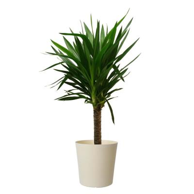 Yucca Cane in 8.75 in. White Decor Pot