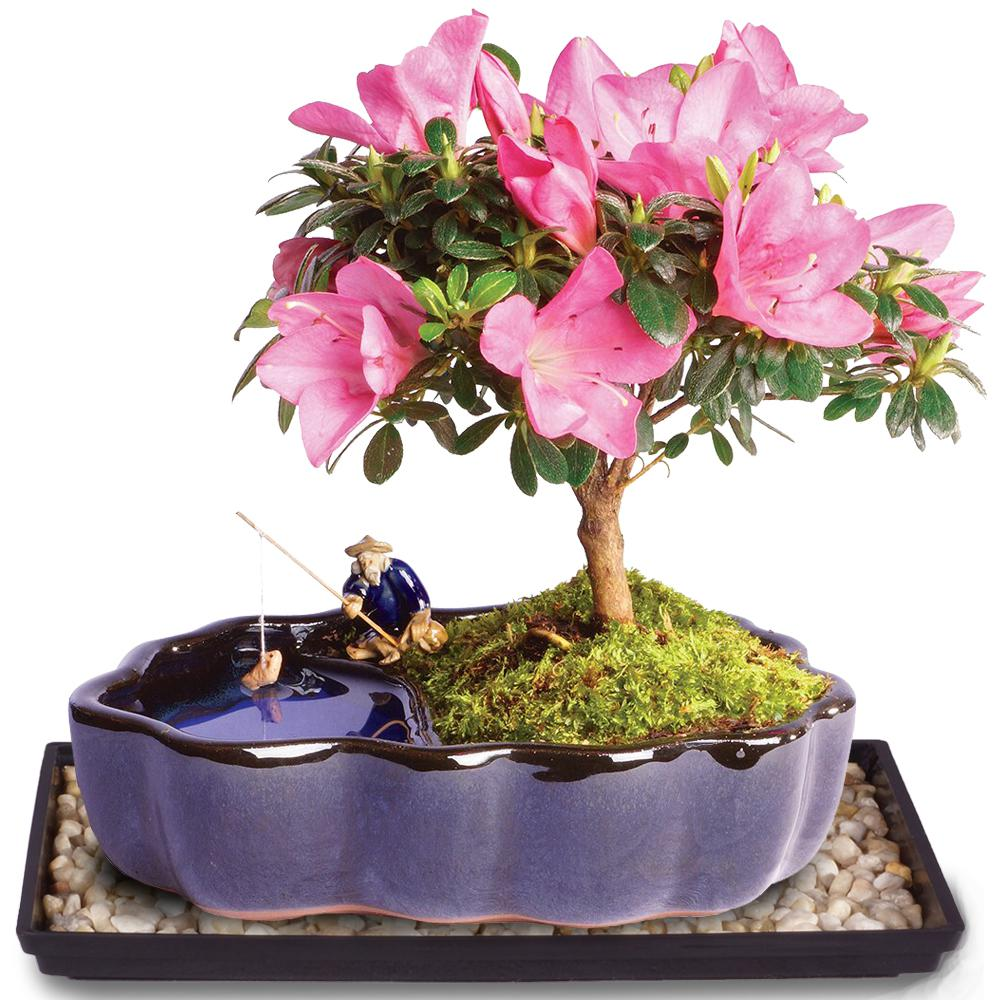 Brussel S Bonsai Satsuki Azalea Bonsai In Zen Reflections Pot Dt1217azz The Home Depot