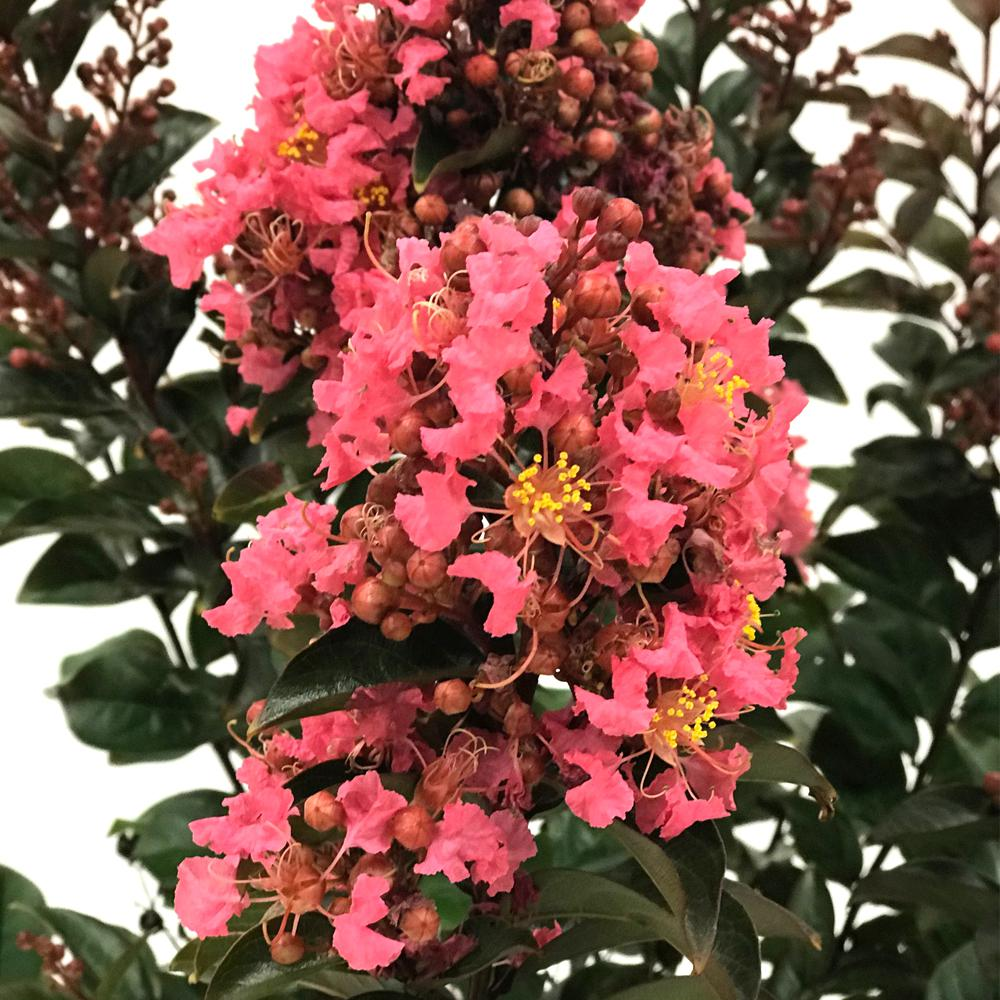FIRST EDITIONS Coral Magic Crape Myrtle