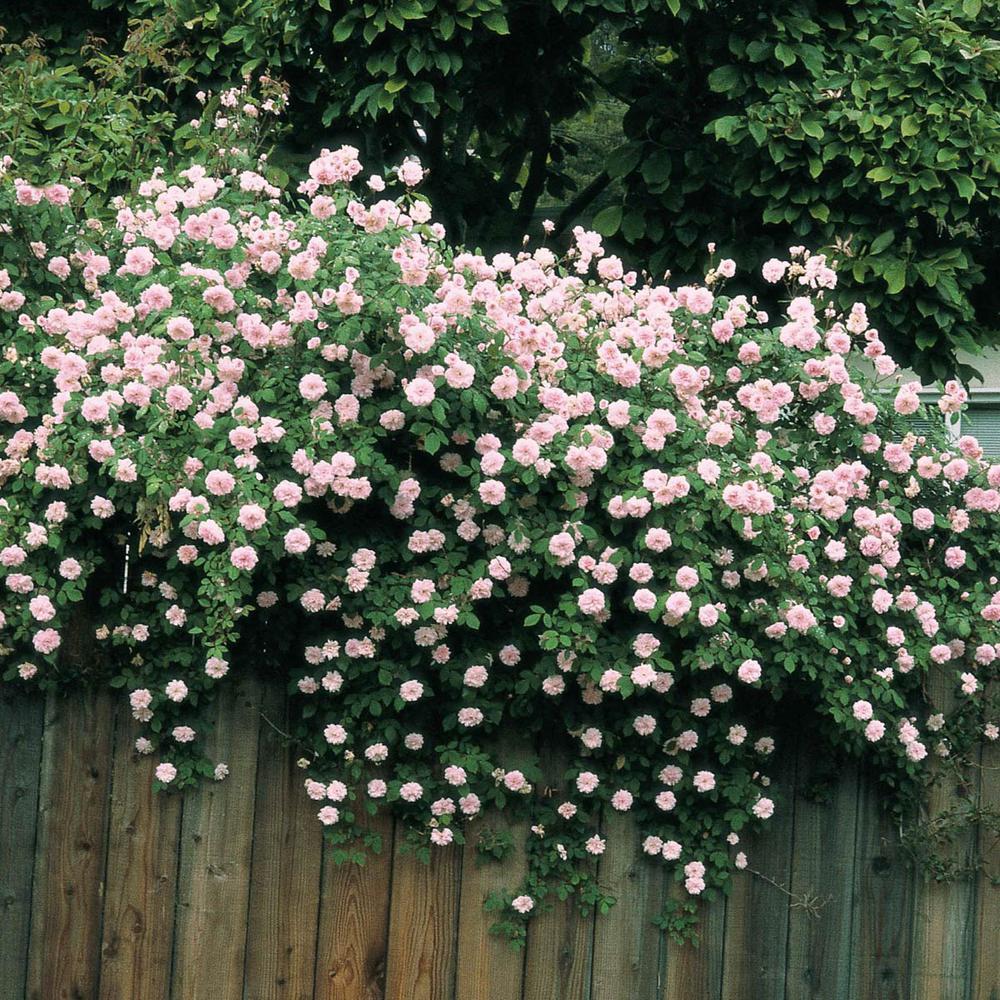 Spring Hill Nurseries Cecile Brunner Climbing Rose Live Bareroot Plant Pink Color Flowers 1 Pack