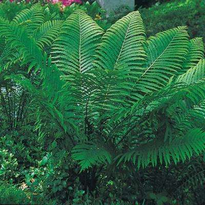 Tennessee Ostrich Fern, Live Bareroot Perennial Plant (1-Pack)
