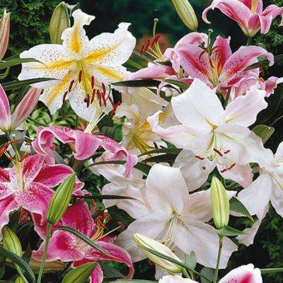Oriental Lily Mixture Bulbs (14 cm to 16 cm size Bulbs/25-Pack)