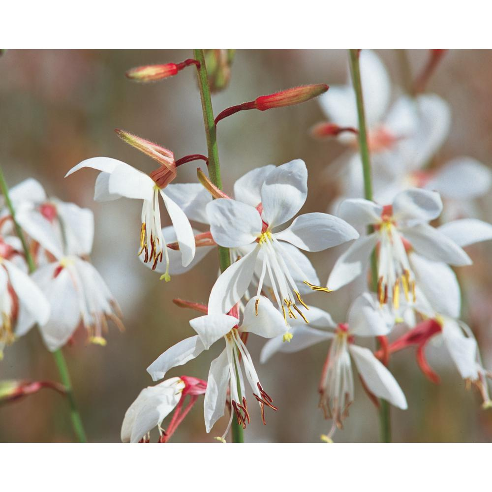 Proven Winners Stratosphere White Butterfly Flower Gaura Live