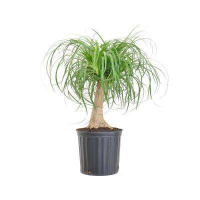 Elephant's Foot Live Indoor Beaucarnea Recurvata Houseplant Shipped in 9.25 in. Grower Pot 24 in. - 28 in. Tall