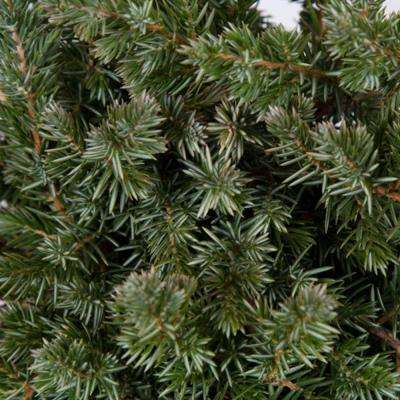 Blue Pacific Juniper 2 1/4 in. Pots (32-Pack) - Evergreen Groundcover Plant