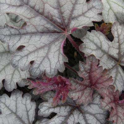 2.5 Qt. Cracked Ice Heucherella, Live Perennial Plant, Multi-color Foliage