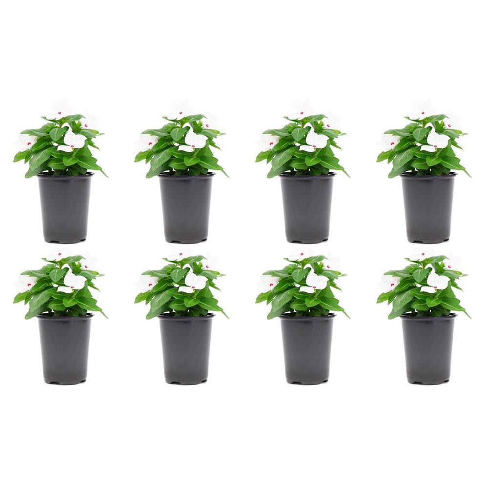 Vinca Cora Periwinkle Plant Polka Dot White Flowers in 4.5 in. Grower's Pot (8-Plants)