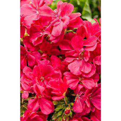 Boldly Hot Pink Geranium (Pelargonium) Live Plant, Bright Pink Flowers, 4.25 in. Grande, 4-pack