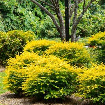 2.5 Qt. Sunshine Ligustrum, Evergreen Shrub, Bright Golden-Yellow Foliage