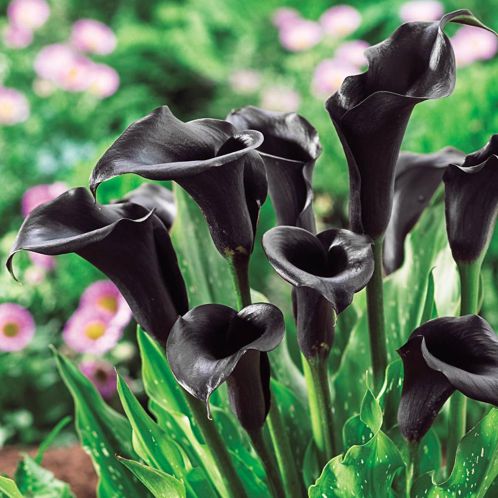 Breck S Dark Purple Flowers Odessa Calla Lily Bulbs 5 Pack 88366