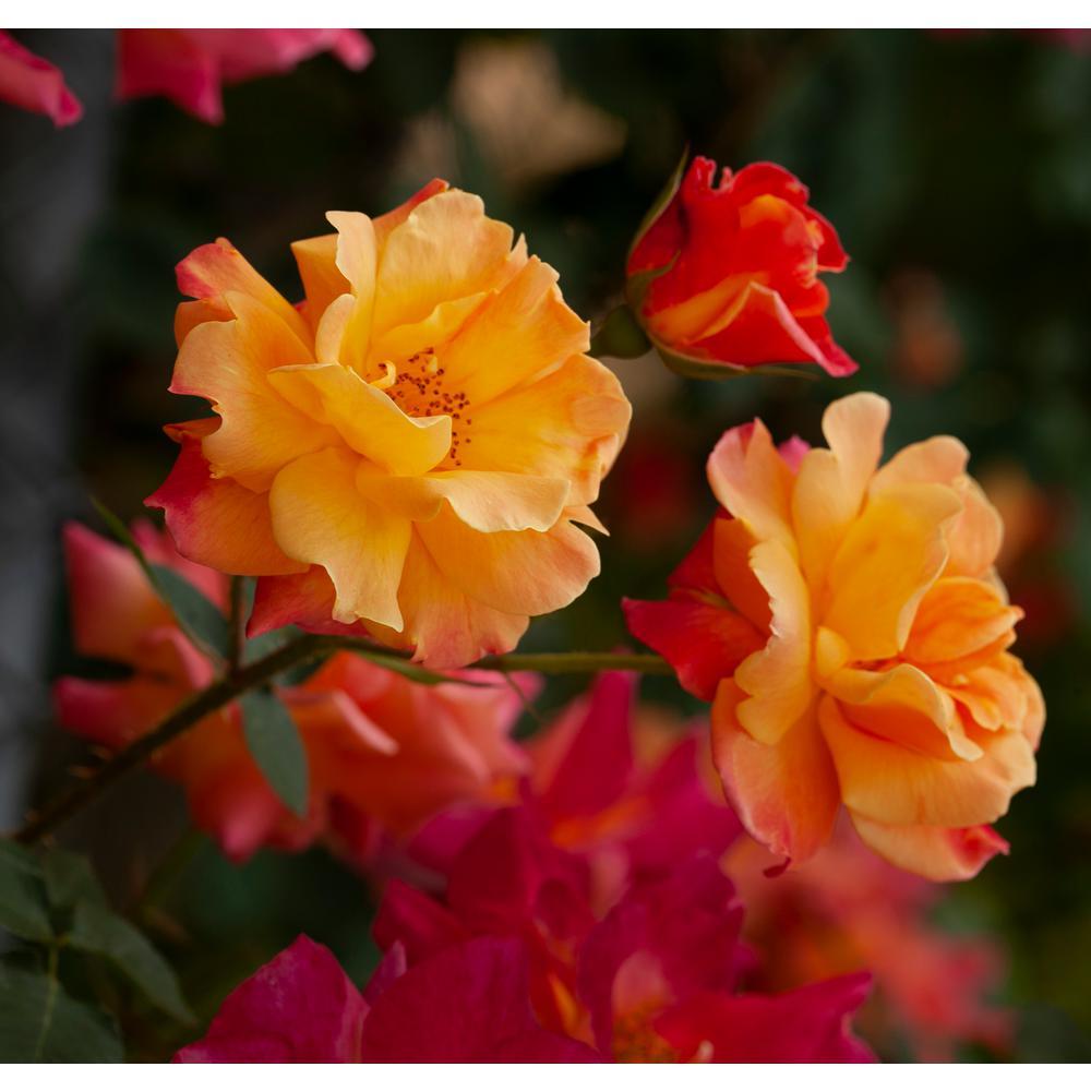 Yellow and Orange Climbing Rose CI Joseph's Coat Root Stock