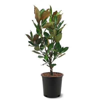 3 Gal. Little Gem Southern Magnolia Tree