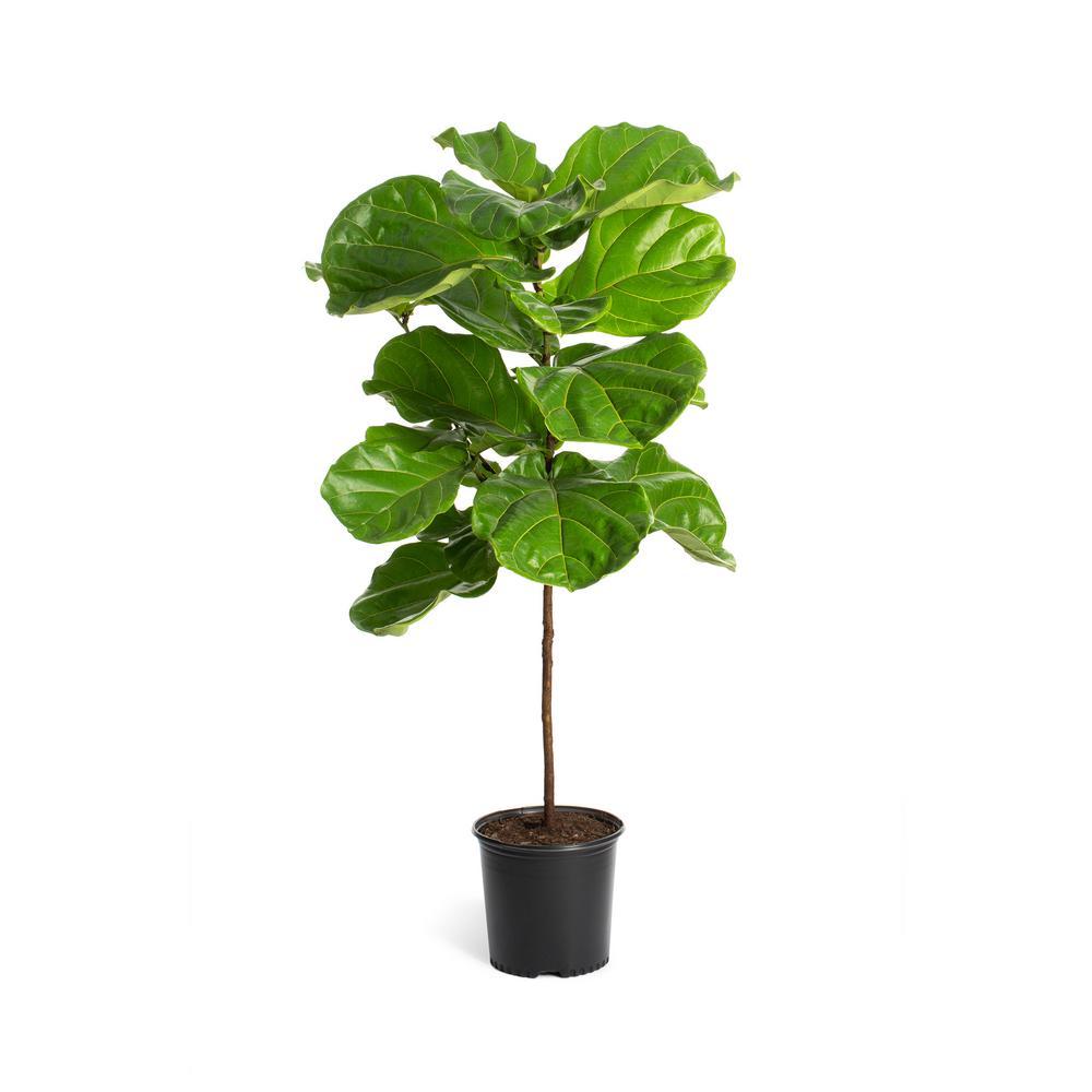 3 Gal. Fiddle-Leaf Fig Tree