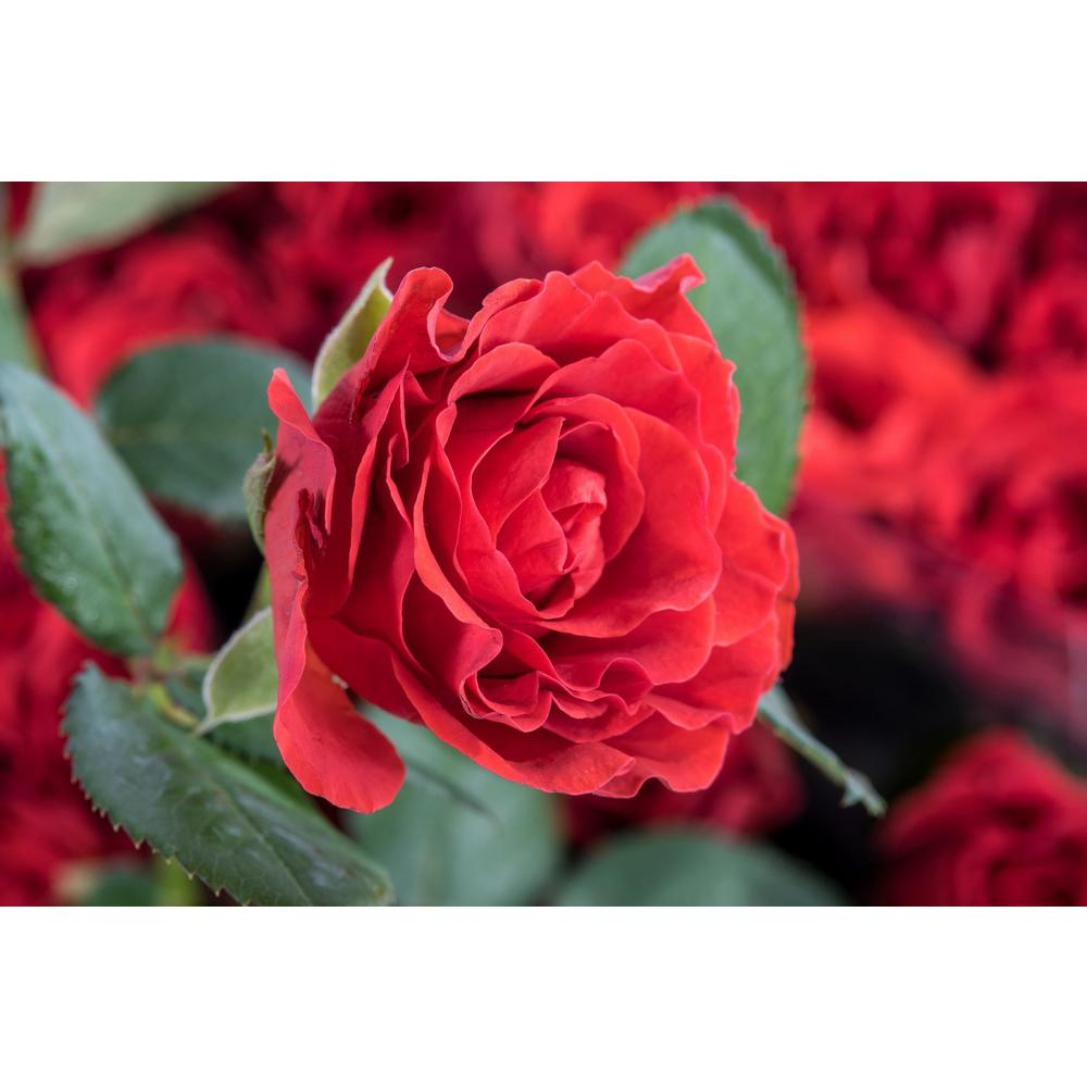 Mea Nursery Fragrant TORO Hybrid Tea Rose with Red flowers was $27.98 now $11.49 (59.0% off)