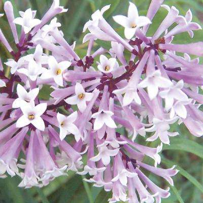 2.5 qt. Miss Kim Lilac (Syringa), Live Deciduous Plant, Pink Flowers with Green Foliage (1-Pack)