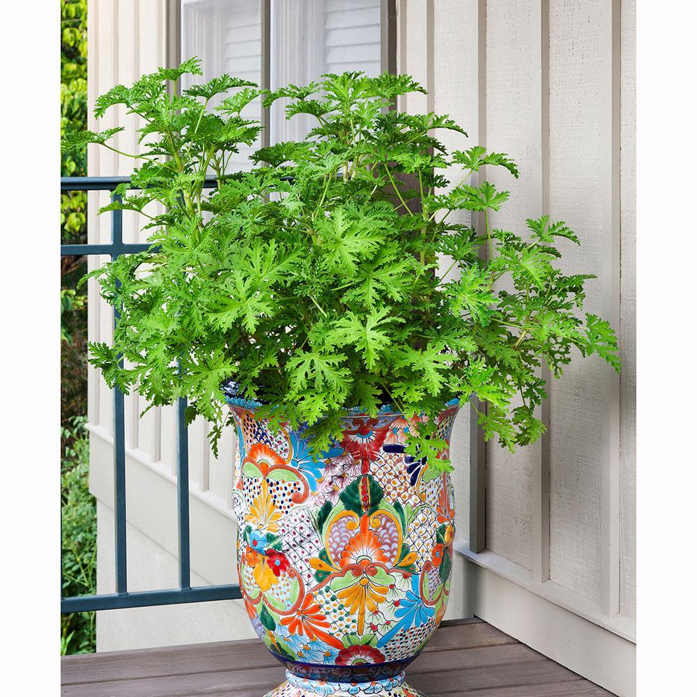 Bonnie Plants 2 32 Qt Citronella Mosquito Premium 5028 The Home