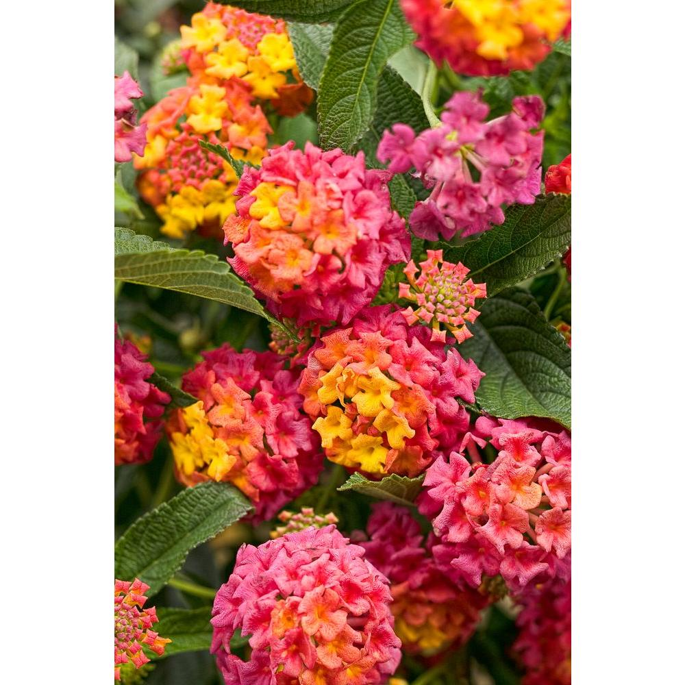Proven Winners Luscious Berry Blend (Lantana) Live Plant, Pink, Orange, And