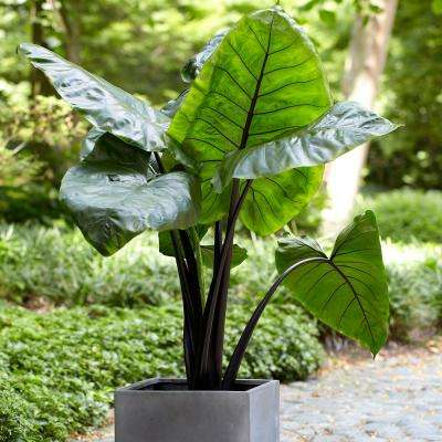 Elephant Ears  Black Stem Upright  Bulb (1-Set)