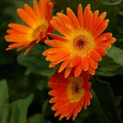 2 Gal. Electric Orange Drakensberg Daisy Gerbera With Bright Orange Blooms, Live Perennial Plant